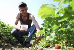 Branje jagoda